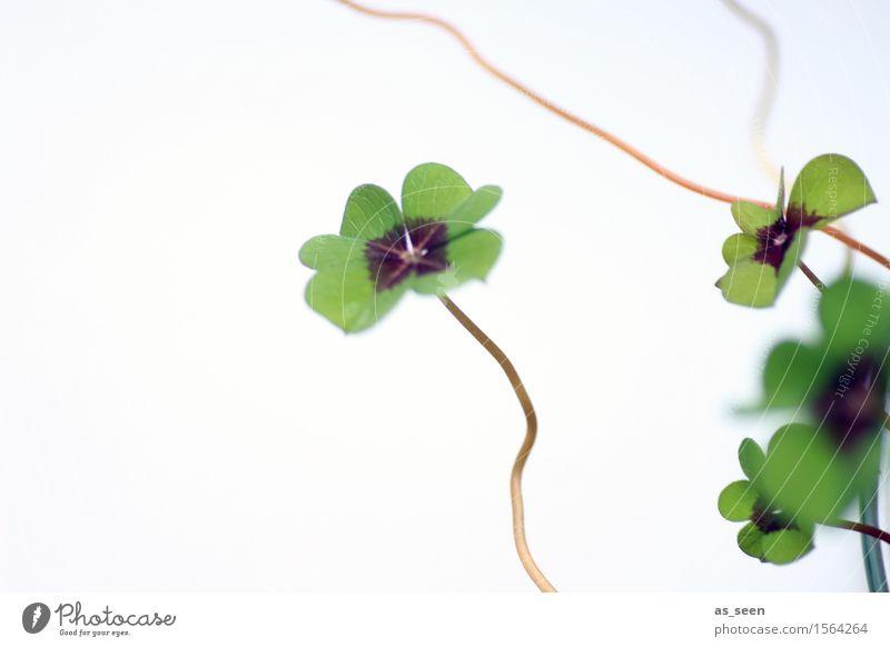 Kleines Glück Leben harmonisch Umwelt Natur Pflanze Frühling Sommer Grünpflanze Klee Kleeblatt vierblättrig Garten Park Wiese Zeichen Glücksbringer Glücksklee