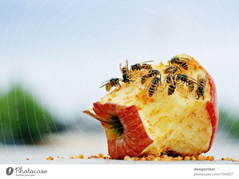 Bitte nicht stören Sommer Ernährung Frucht gefährlich bedrohlich Apfel Müll Fressen Aggression Rest Wespen Stich Insekt Biomüll