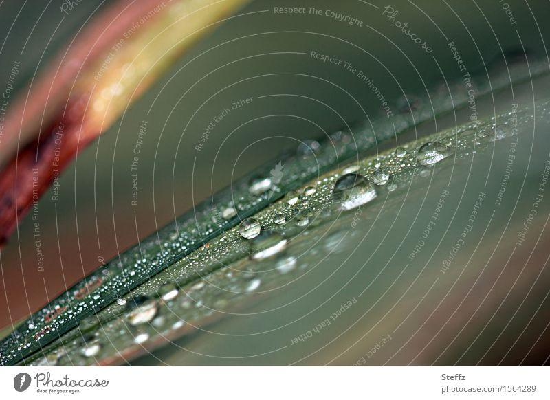 frisch berieselt Umwelt Natur Pflanze Wasser Wassertropfen Herbst Wetter schlechtes Wetter Regen Gras Wildpflanze Halm Garten Wiese ästhetisch nass natürlich