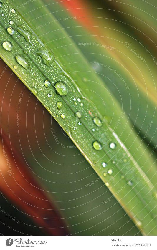 ein bisschen Regen Umwelt Natur Pflanze Wassertropfen Herbst Wetter Gras Wildpflanze Halm Garten Wiese nass natürlich schön grün orange Regenstimmung hydrophob
