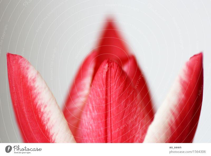 Entfaltung Lifestyle elegant Design exotisch Wellness Leben harmonisch Garten Ostern Umwelt Natur Pflanze Frühling Klima Blume Tulpe Blüte Blütenblatt