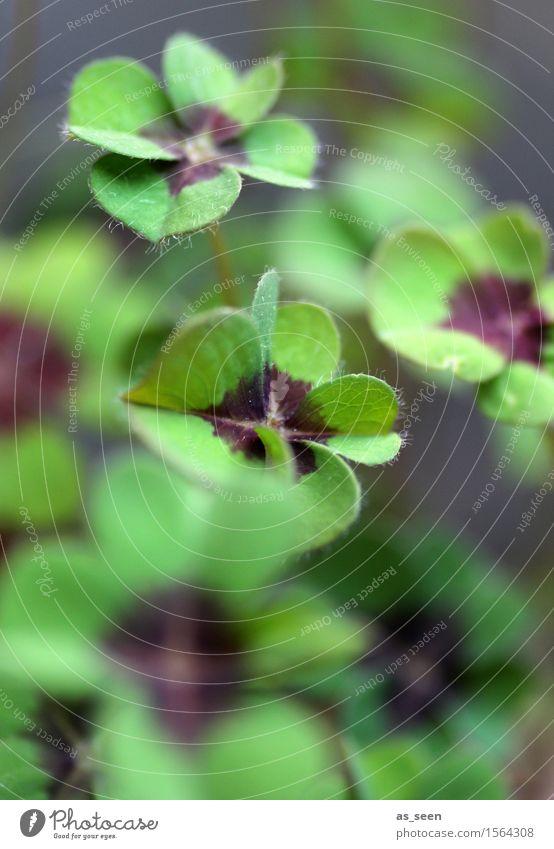 Lebendiges Glück Gesundheit Wellness Silvester u. Neujahr Umwelt Natur Pflanze Frühling Sommer Blatt Topfpflanze Kleeblatt Glücksklee vierblättrig Garten Park