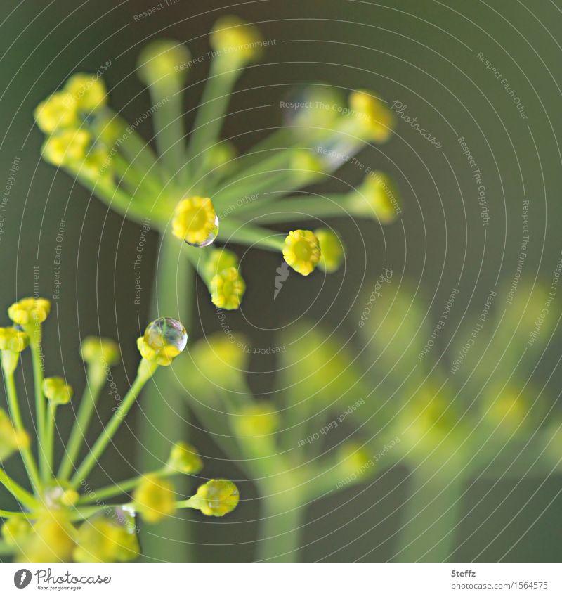 Dilltropfen Lebensmittel Kräuter & Gewürze Dillblüten Umwelt Natur Wassertropfen Sommer Regen Pflanze Nutzpflanze Doldenblüte Gartenpflanzen nass natürlich rund