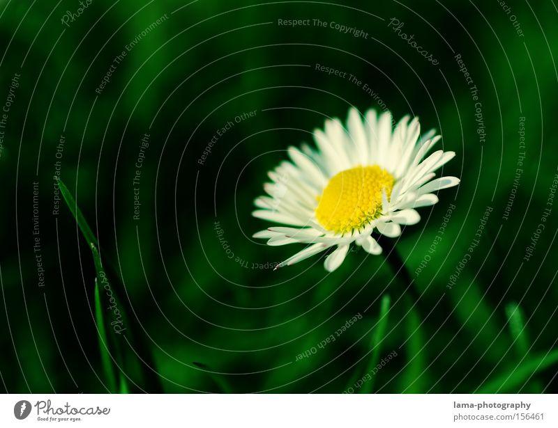 Spring Break Gänseblümchen Margerite Blume Blumenstrauß Blüte Frühling Wiese Blumenwiese Gras Makroaufnahme sprießen Halm Nahaufnahme daisy