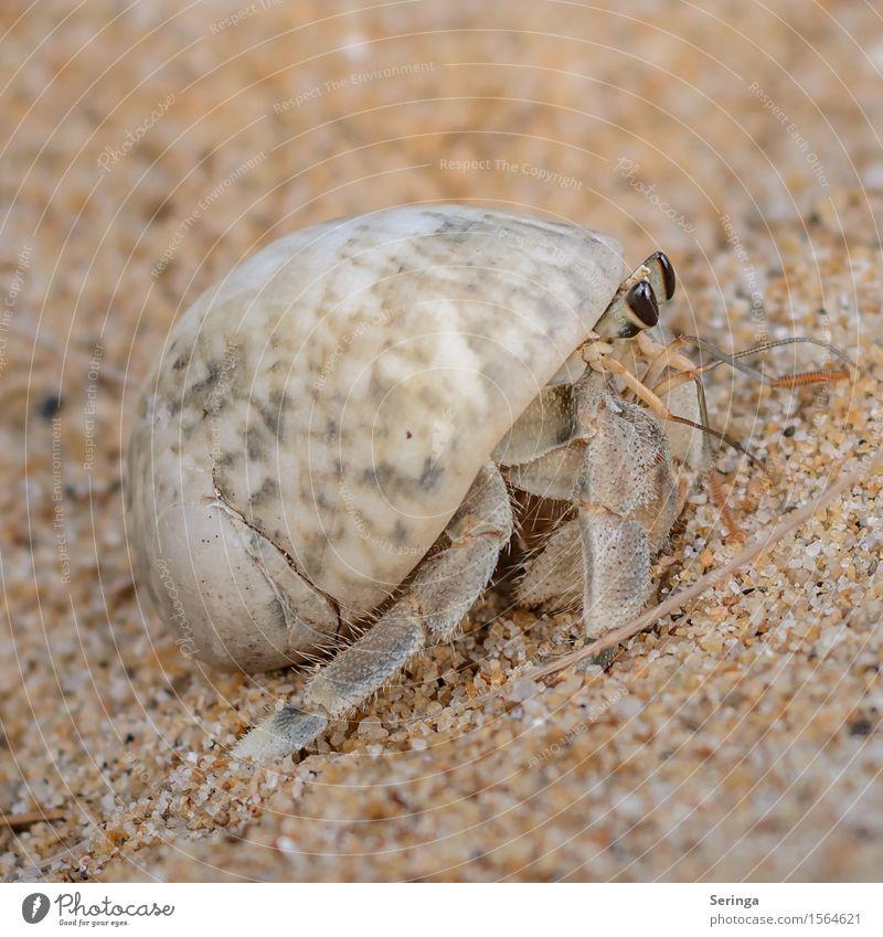Stielaugen Tier Wildtier Schnecke Muschel Fährte Krebs Krebstier Einsiedler Einsiedlerkrebs 1 krabbeln Farbfoto mehrfarbig Außenaufnahme Nahaufnahme