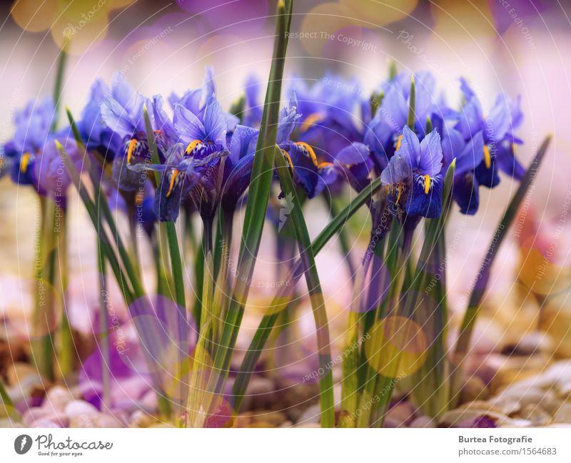 Schwertlilie Pflanze Sonnenlicht Blume Blatt Blüte Garten mehrfarbig gelb grün violett 2016 März Frühling Springtime Farbfoto Außenaufnahme Menschenleer Tag