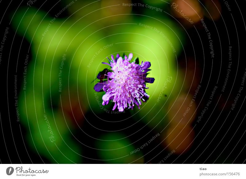 Klee, der gar keiner ist... Blume Pflanze Blüte Frühling violett Biene Klee Wespen