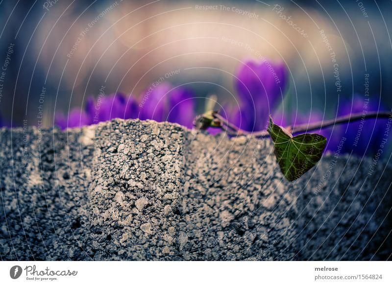 Efeuherz mit Krokusse Natur Pflanze grün schön Blume Blatt Blüte Frühling Stil braun Park glänzend Erde elegant leuchten Blühend