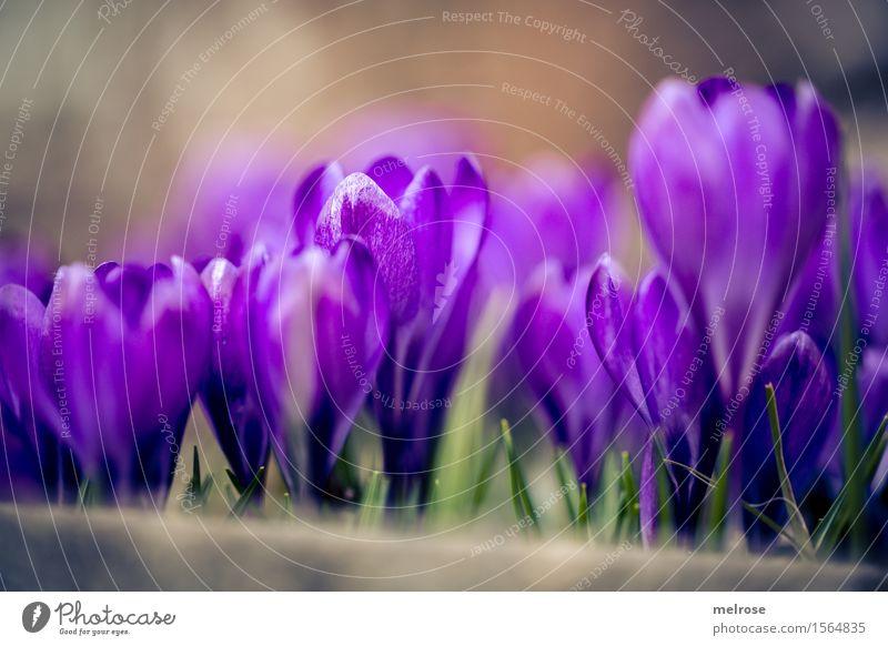 auf der Mauer ... elegant Stil Natur Erde Frühling Schönes Wetter Pflanze Blume Gras Blatt Blüte Wildpflanze Krokusse Knollengewäschse Blütenpflanze Garten