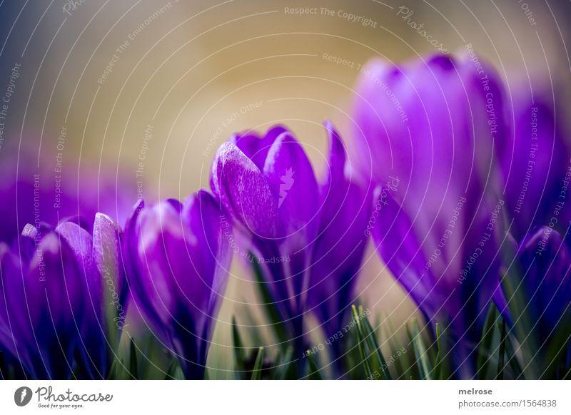 dicht gedrängt elegant Stil Geburtstag Natur Pflanze Erde Frühling Schönes Wetter Blume Gras Blatt Blüte Wildpflanze Krokusse Knollengewächse Frühblüher Garten