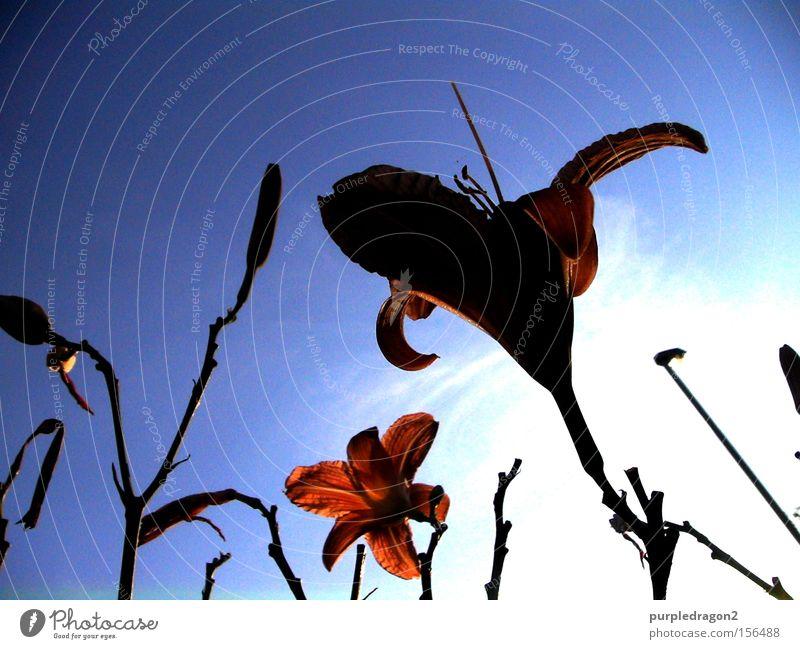 Das Streben nach Glück Himmel streben Blume rot orange blau Wolken Pflanze Wachstum Ast Blüte