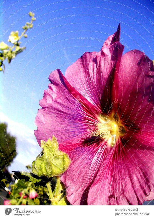 Flower Power Blume Blüte rosa gelb blau grün Himmel Pflanze Blütenknospen Ranke entfalten aufmachen Sommer