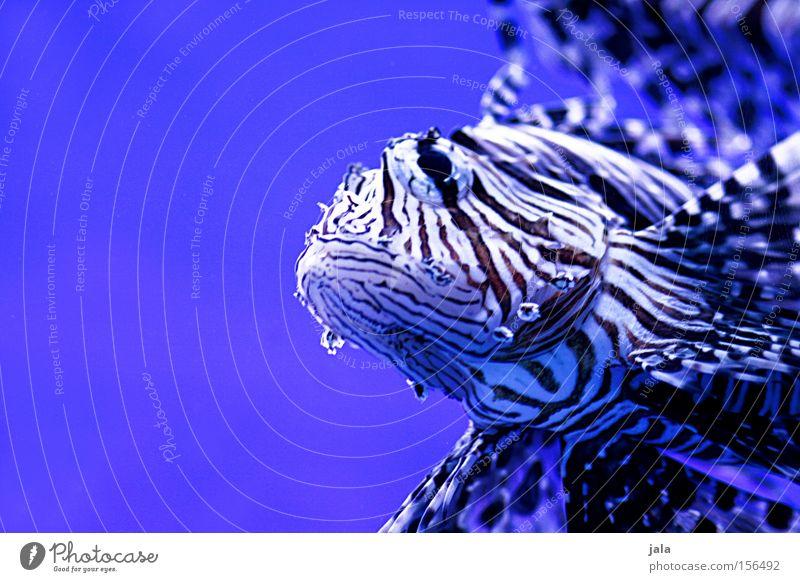 AQUARIUM EXPERIENCE #11 Meer blau Fisch Schifffahrt Aquarium Unterwasseraufnahme Gift Meerwasser Rotfeuerfisch Strahlenfeuerfisch