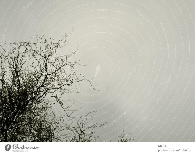 Weide ohne Vogel Korkenzieher-Weide Ast Zweig Geäst Baum Himmel grau trüb trist Regen Wolken