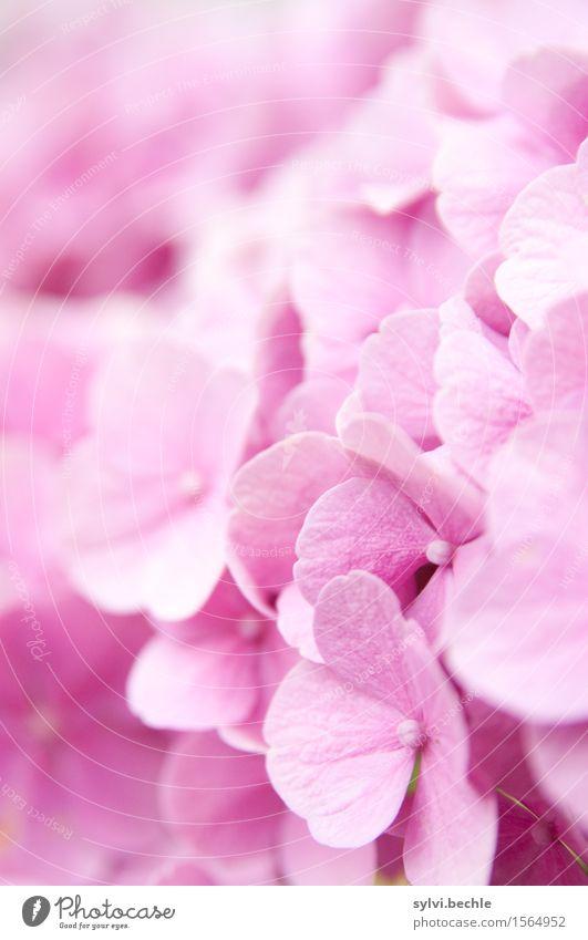 Hortensie Umwelt Natur Pflanze Sommer Blume Sträucher Blüte Garten Blühend Duft natürlich schön rosa Idylle rein Vergänglichkeit Wachstum Wandel & Veränderung