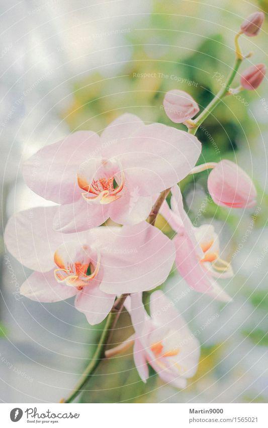Orchidee Natur Tier Frühling Pflanze träumen exotisch natürlich feminin rosa friedlich ruhig Farbfoto Innenaufnahme Nahaufnahme Textfreiraum oben Tag