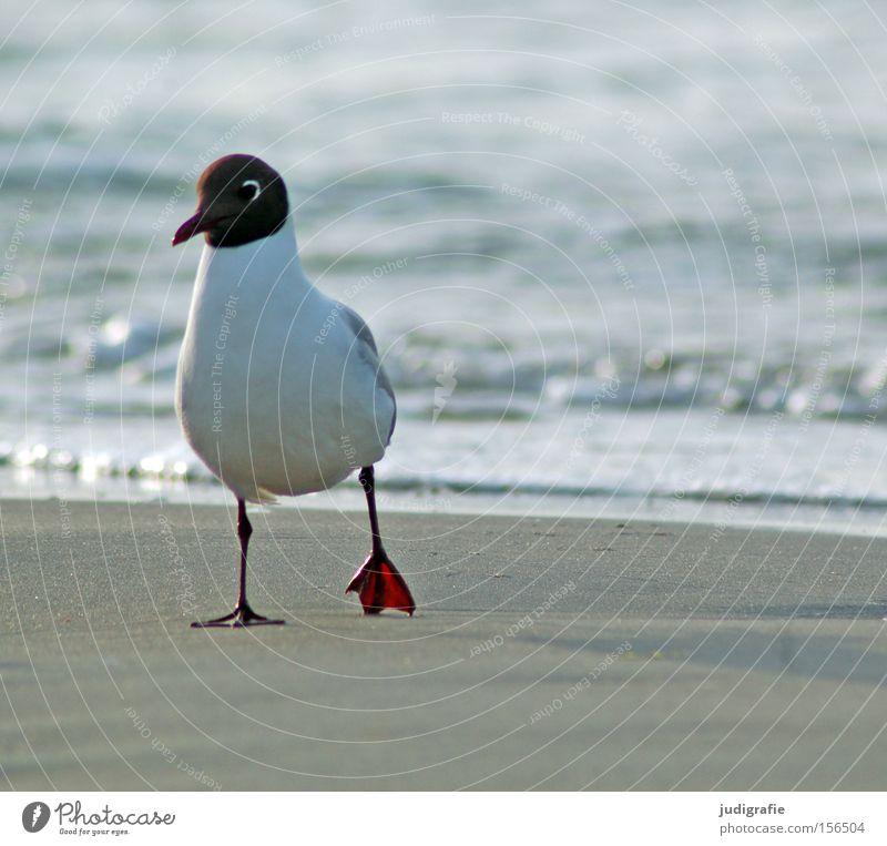Möwe Lachmöwe Vogel Strand Spaziergang Küste Meer Ostsee Sand Wasser Natur Umwelt Farbe