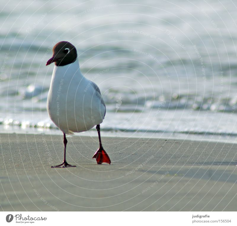 Möwe Natur Wasser Meer Strand Farbe Sand Vogel Küste Umwelt Spaziergang Ostsee Möwe Tier Lachmöwe
