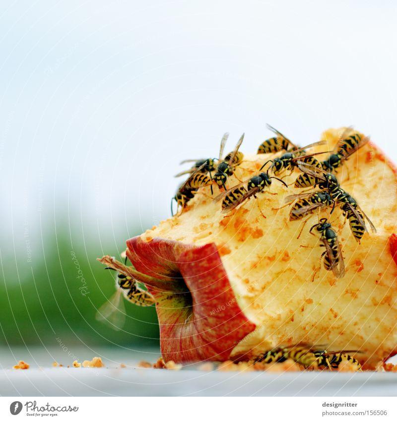 Geschlossene Gesellschaft Apfel Frucht Sommer Rest Müll Biomüll gefährlich Aggression Wespen Verwertung verwerten bedrohlich Wespenstich