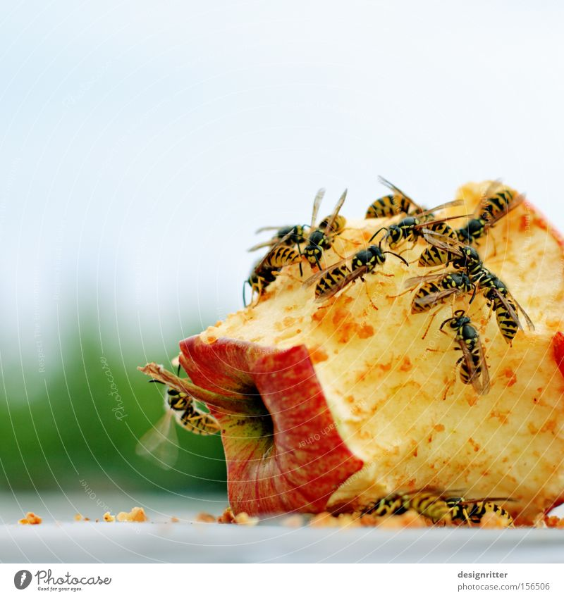 Geschlossene Gesellschaft Sommer Frucht gefährlich bedrohlich Apfel Müll Aggression Rest Wespen Insekt Biomüll