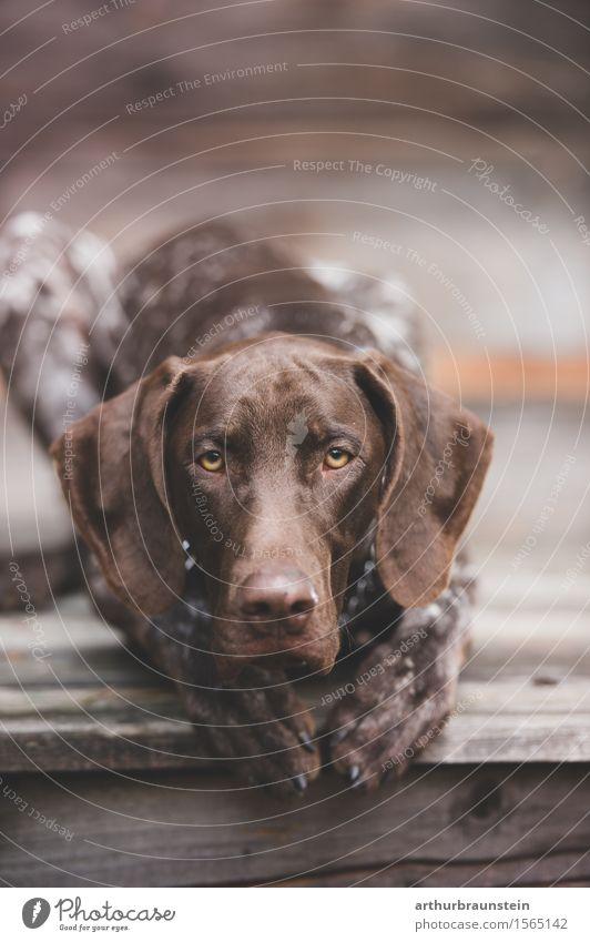 Hund auf Terrasse Freizeit & Hobby Jagd wandern Hütte Tier Haustier 1 Holz beobachten liegen Blick warten ästhetisch Neugier schön braun Zufriedenheit Vertrauen