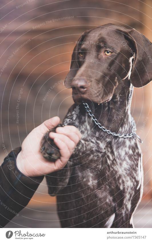 Hund gibt Herrchen die Pfote lernen Hütte brünett kurzhaarig Tier Haustier Tiergesicht Fell 1 Holz sitzen authentisch schön braun Vertrauen achtsam Freundschaft