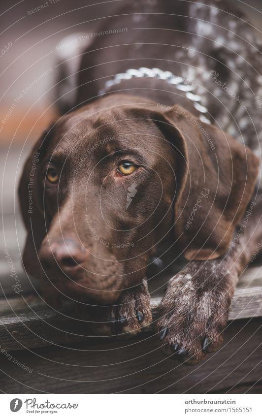 Jagdhund auf Holzterrasse Freizeit & Hobby Ausflug Haus Hütte brünett kurzhaarig Tier Haustier Hund Tiergesicht Fell Pfote 1 beobachten liegen Blick ästhetisch