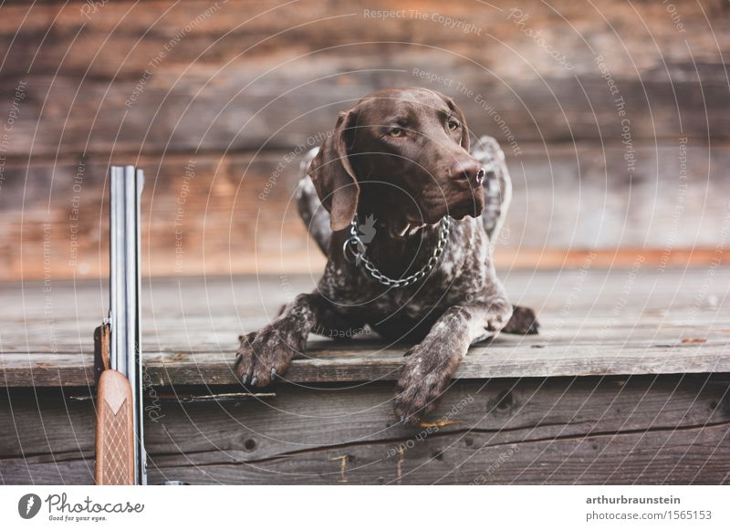 Jagdhund bei Hütte mit Gewehr Freizeit & Hobby Ausflug Haus Umwelt Natur Tier Haustier Hund 1 Schußwaffen beobachten liegen Blick ästhetisch Wachsamkeit Neugier