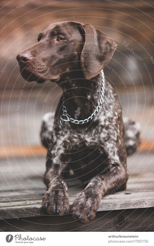 Hund vor Holzhütte schön Haus Tier liegen sitzen ästhetisch Perspektive beobachten Ziel sportlich Jagd Haustier Kette achtsam