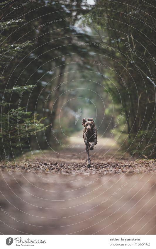 Hund läuft im Wald auf Weg Natur Baum Tier Umwelt Leben Frühling Bewegung Freiheit Kraft Sträucher laufen Geschwindigkeit Ziel Jagd