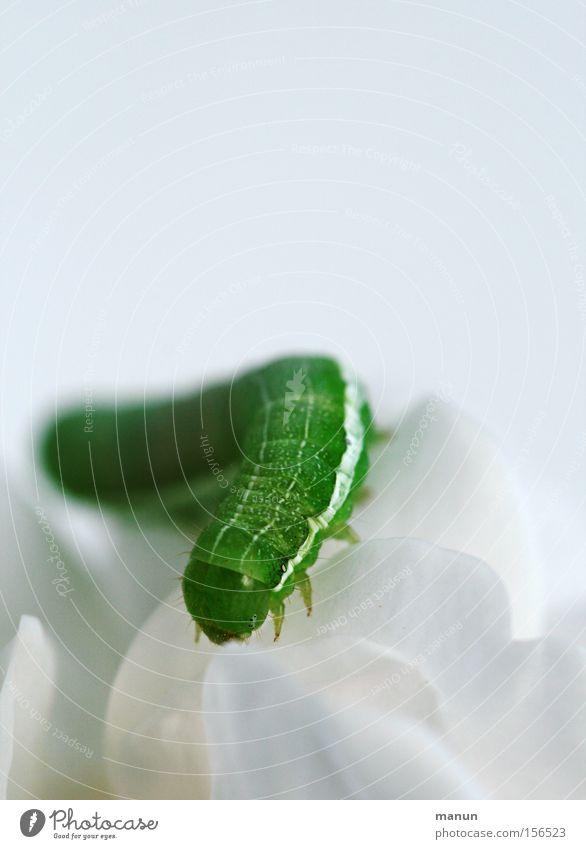 caterpillar I Natur weiß Blume grün Sommer Leben Blüte Frühling elegant Umwelt Vergänglichkeit Schmetterling verwandeln Umweltschutz krabbeln Gartenarbeit