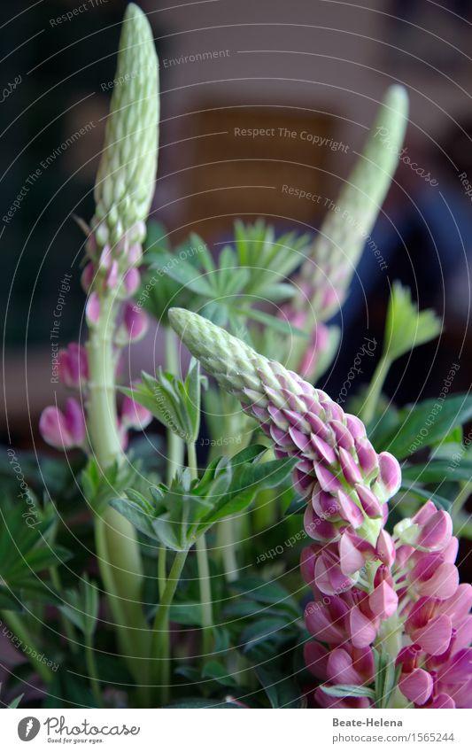 Blühende Blumen Stil Pflanze Lupine Lupinenblüte leuchten Duft Freundlichkeit rosa Freude Frühlingsgefühle Begeisterung Geschenk Geburtstagsgeschenk