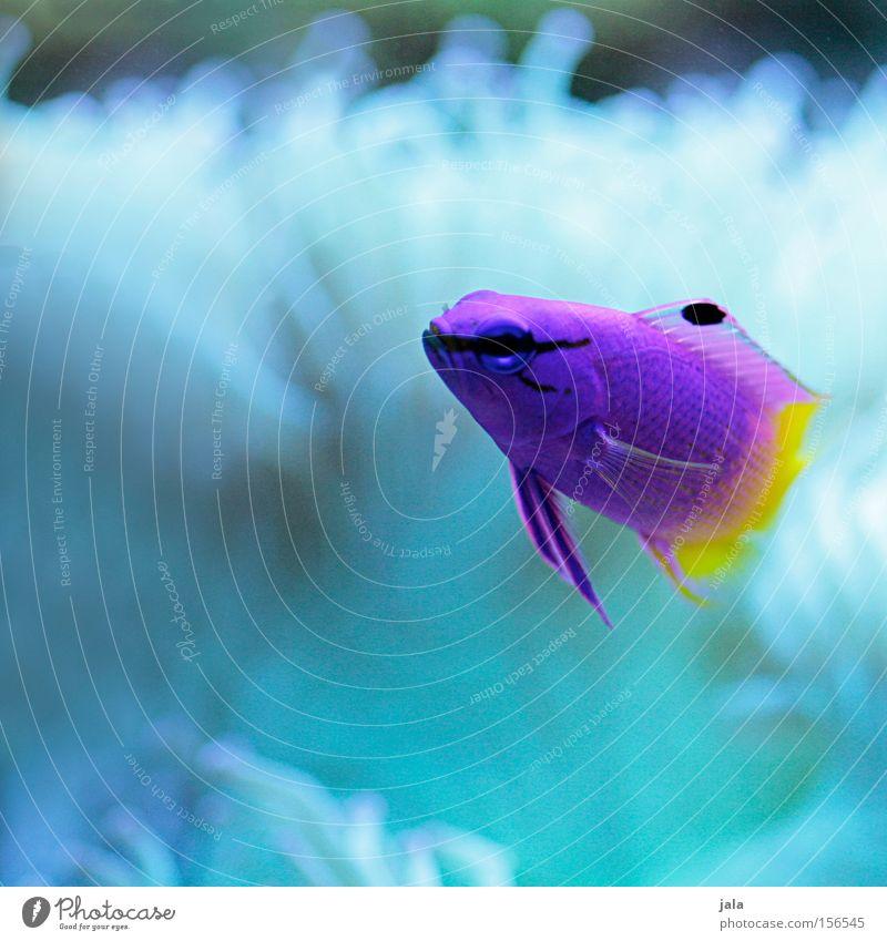 AQUARIUM EXPERIENCE #12 Karibisches Meer violett gelb rosa zweifarbig Fisch Aquarium Nahaufnahme Meerwasser Unterwasseraufnahme Wasser Königsfeenbarsch