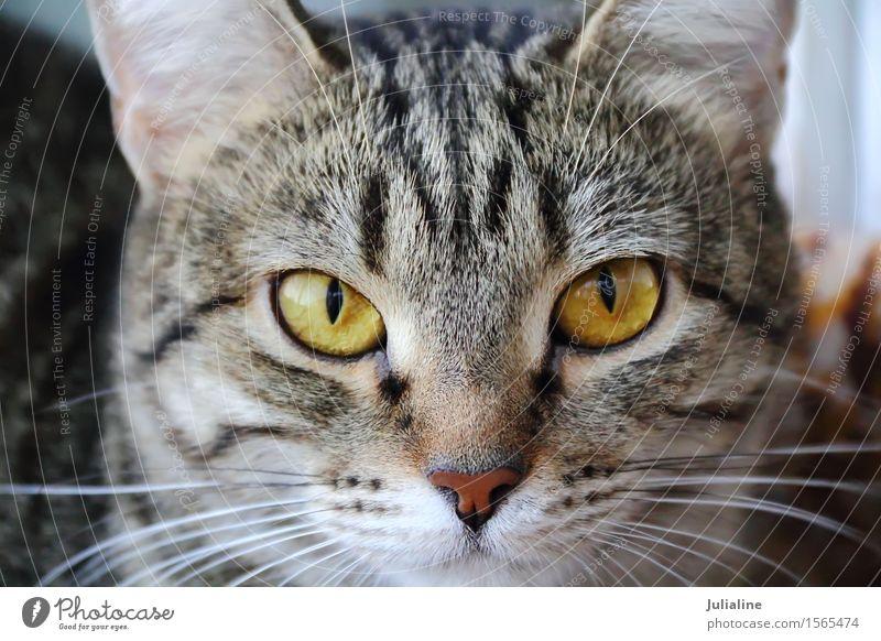 Katzenporträt mit gelben Augen Gesicht Tier Oberlippenbart Haustier Streifen nah Säugetier Backenbart Koteletten schließen Farbfoto