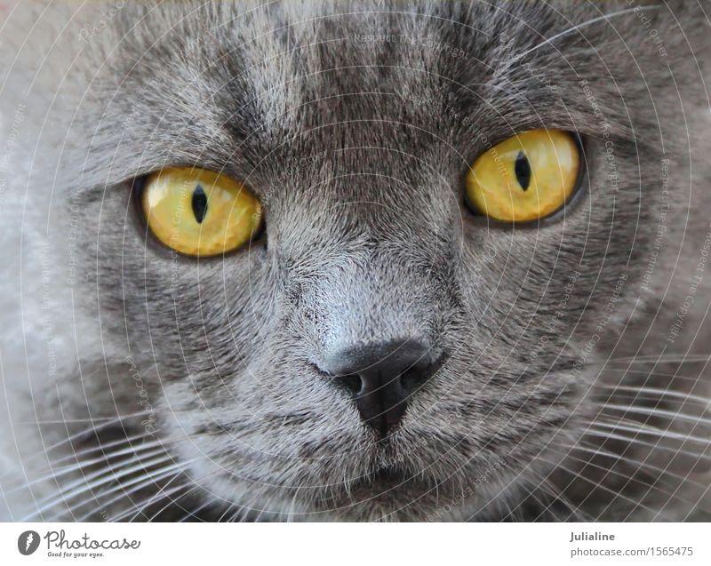 Katzenporträt mit gelben Augen blau Tier Gesicht grau nah Haustier Säugetier Oberlippenbart