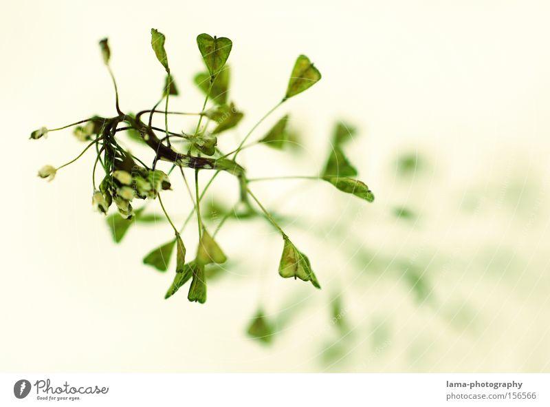 herzblatt Blume Pflanze Gras Herz Blüte Blütenknospen Blattknospe filigran fein Makroaufnahme Natur Frühling Nahaufnahme hirtentäschel