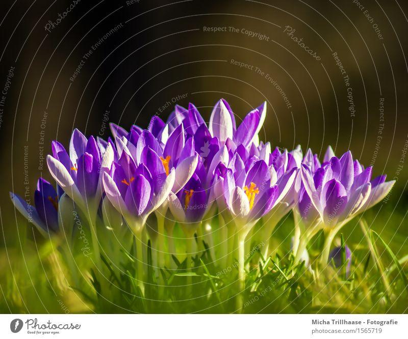 Krokusse Natur Pflanze blau grün schön Sonne Blume Blatt Umwelt Blüte Frühling Wiese natürlich Garten orange Wachstum