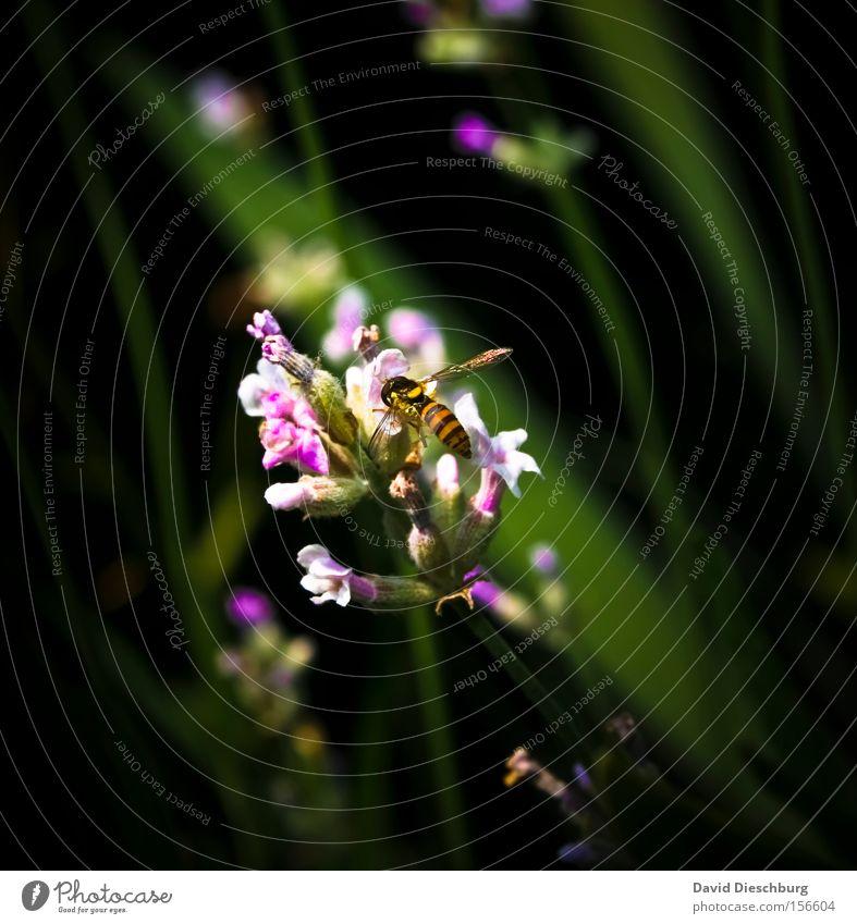 Wenn jetzt Sommer wär Lavendel Blume Blüte Pflanze violett grün Insekt Wespen Nektar Natur Wiese Makroaufnahme Nahaufnahme Stengel schwebewespe Heilpflanzen