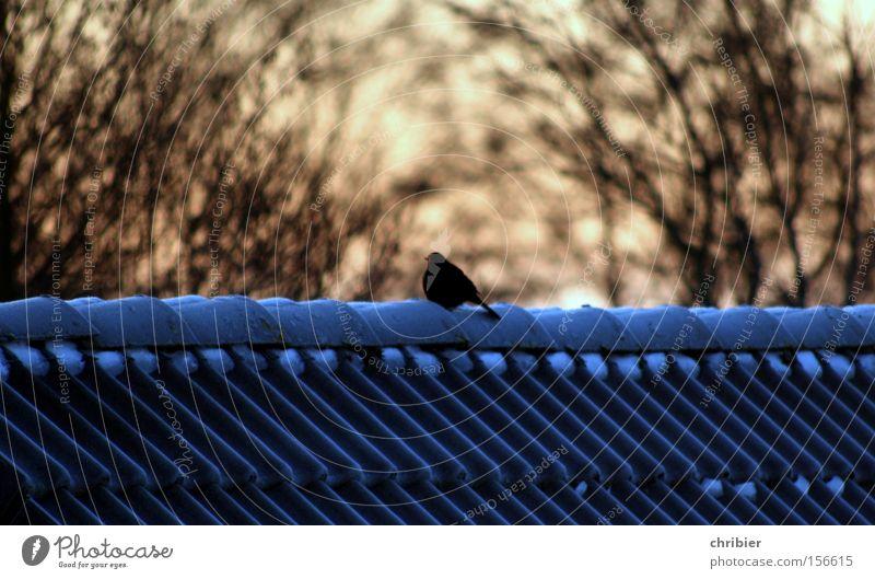Festgefroren Winter Frost Vogel Amsel frieren Eis Schnee Sonnenaufgang Sonnenuntergang Dach sitzen Abend chribier