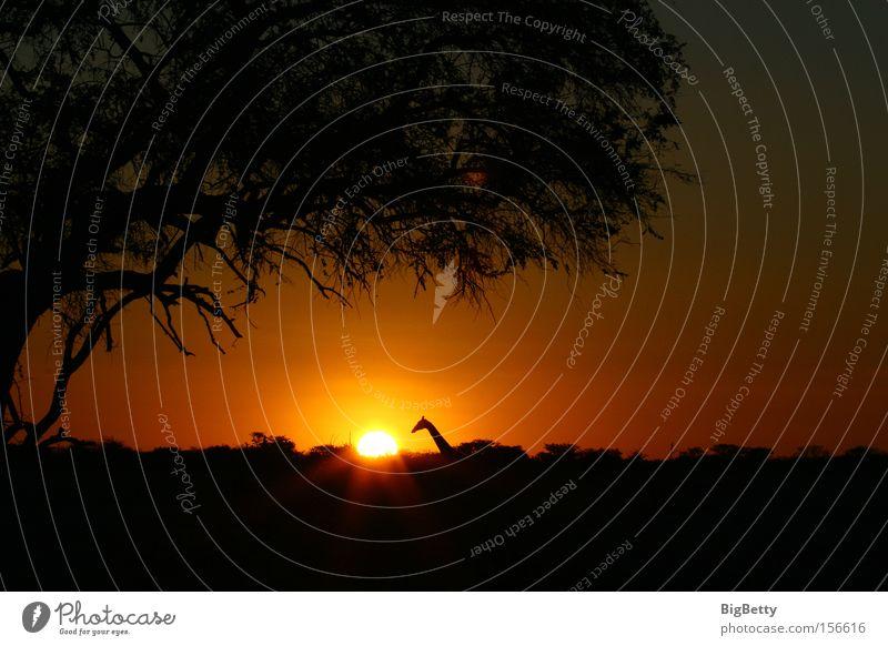 Was leuchtet denn da? schön Baum Sonne ruhig Sonnenuntergang Einsamkeit ästhetisch Afrika Neugier Säugetier Namibia Giraffe Himmelskörper & Weltall