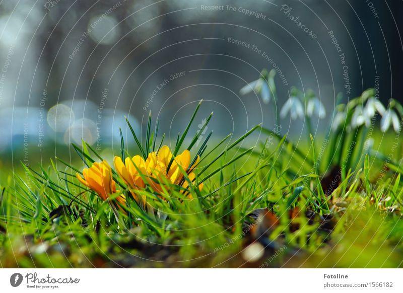 Frühling Umwelt Natur Landschaft Pflanze Schönes Wetter Blume Kaktus Blüte Garten Park Wiese hell klein Wärme gelb grün weiß Schneeglöckchen Frühblüher