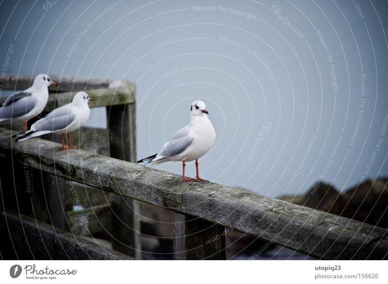 drei ist einer zuviel Vogel grau Meer kalt Ostsee ruhig Küste Holz verfallen verwittert Steg Möwe einzeln sündigen Außenaufnahme Winter Deutschland
