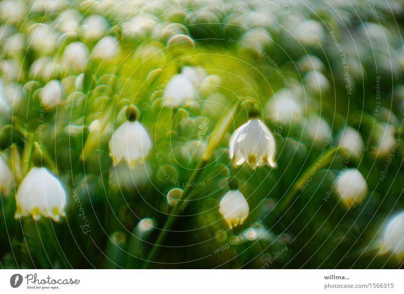 Märzenbecherwiese Frühling Blühend grün weiß Frühlingsgefühle Natur Pflanze Unschärfe Frühlingsblume Frühblüher Frühlingstag Farbfoto Außenaufnahme