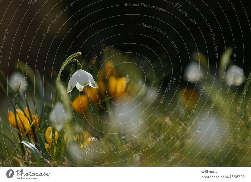 kleines glück Frühling Märzenbecher Frühlingsblume Frühblüher Frühlingstag Krokusse Frühlingswiese Blumenwiese leuchten Glück Frühlingsgefühle Natur natürlich