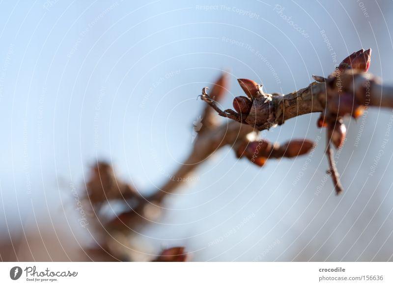 Frühlingsbote Blüte Blatt Pflanze Sträucher Blütenknospen Blattknospe Winter Zusteller Himmel Makroaufnahme Nahaufnahme schön