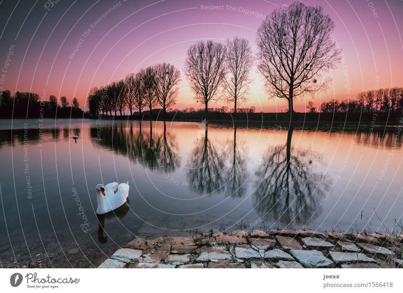 Seelentier Natur Landschaft Wasser Himmel Sonnenaufgang Sonnenuntergang Schönes Wetter Baum Seeufer Schwan 2 Tier Schwimmen & Baden selbstbewußt schön ruhig