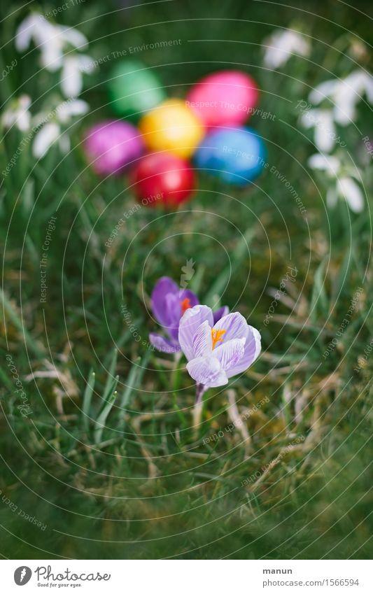 Krokus mit Eiern Lebensmittel Osterei Ernährung Bioprodukte Feste & Feiern Ostern Frühling Blume Frühlingsblume Krokusse Schneeglöckchen Garten Wiese natürlich