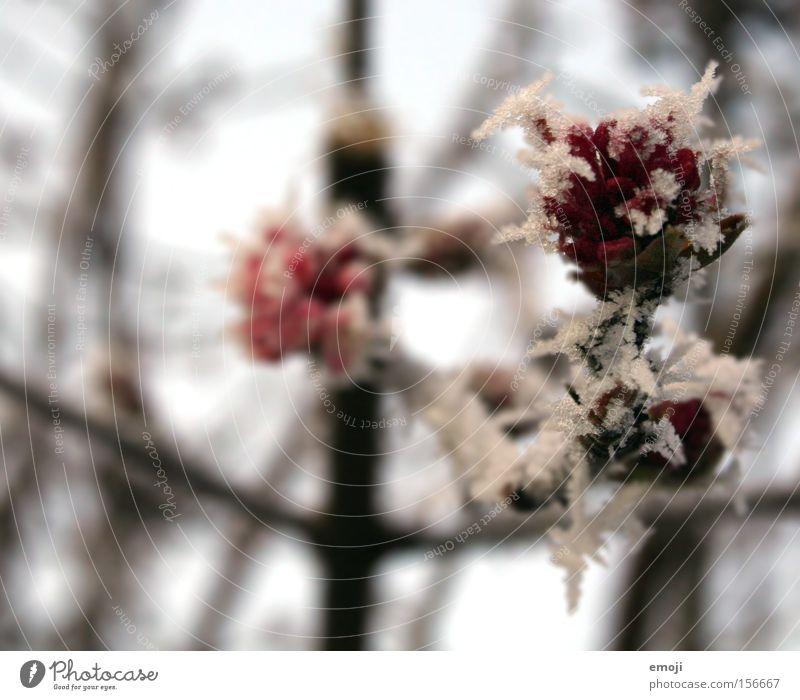 Kristallblumen Natur Blume blau Pflanze Winter kalt Schnee Eis Rose Frost Ast