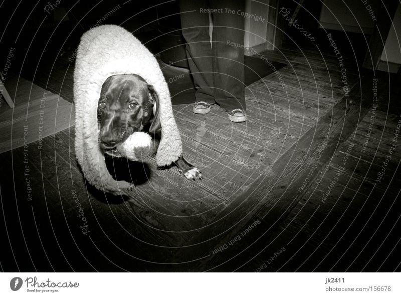 Polly im Schafspelz weiß Freude schwarz Spielen Bewegung Hund Beine Kraft Filmmaterial Spielzeug Fell festhalten verstecken Chucks Pfote