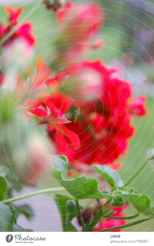Sommer-Balkon Pelargonie Blume rot Ferien & Urlaub & Reisen Unschärfe Aussicht Blüte Balkonblumen